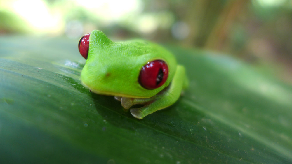 Red Eye Tree Frog, just one of the many things to see on your first trip to Costa Rica
