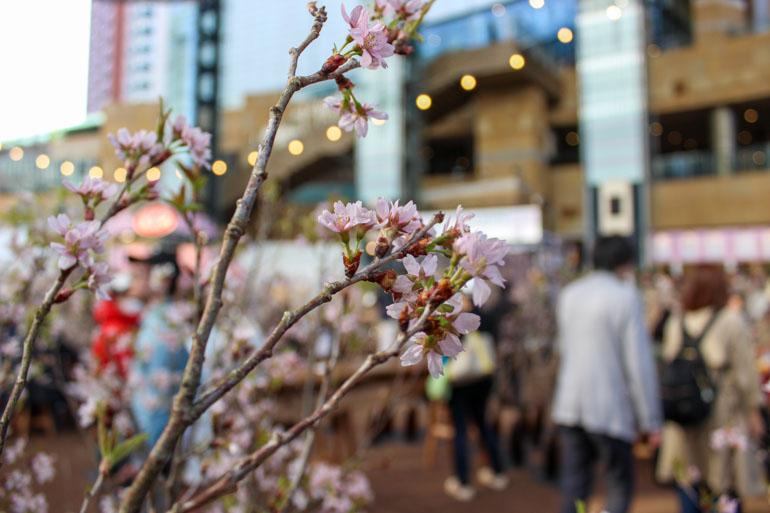 Craft Sake Week Roppongi Hills Cherry Blossom in Tokyo