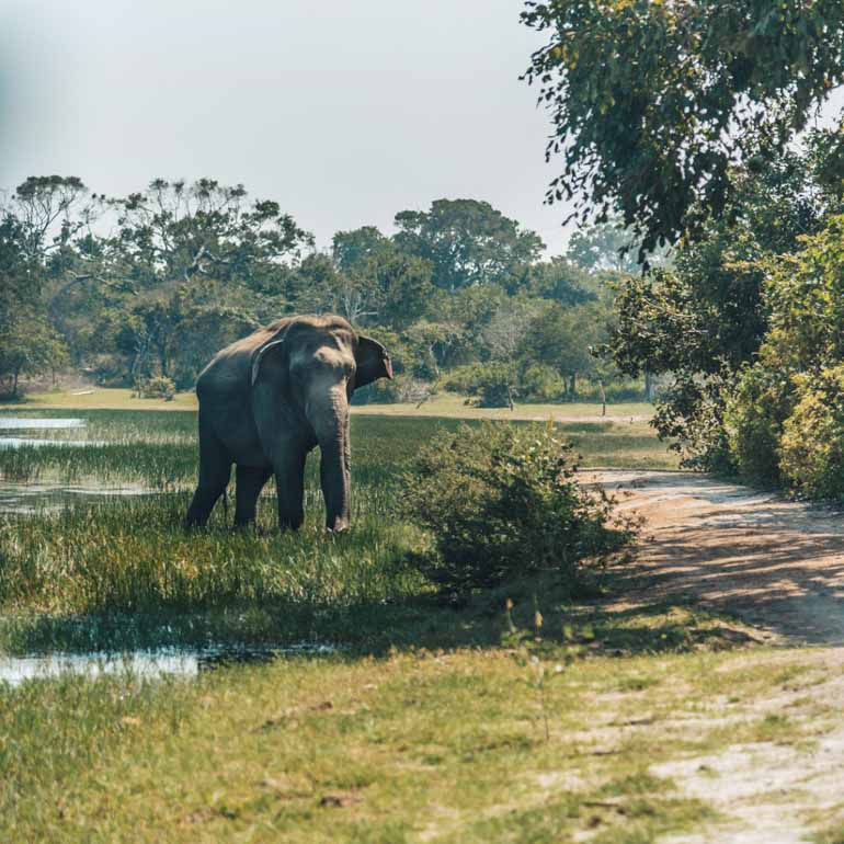 See Elephants on Safari with kids in Sri Lanka