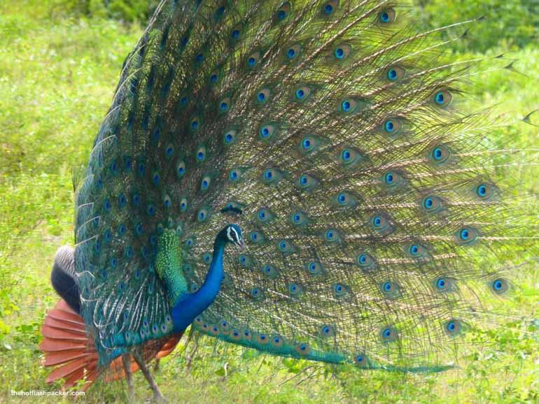 sri lanka wildlife safari. Peacock spreading it's tail feathers.