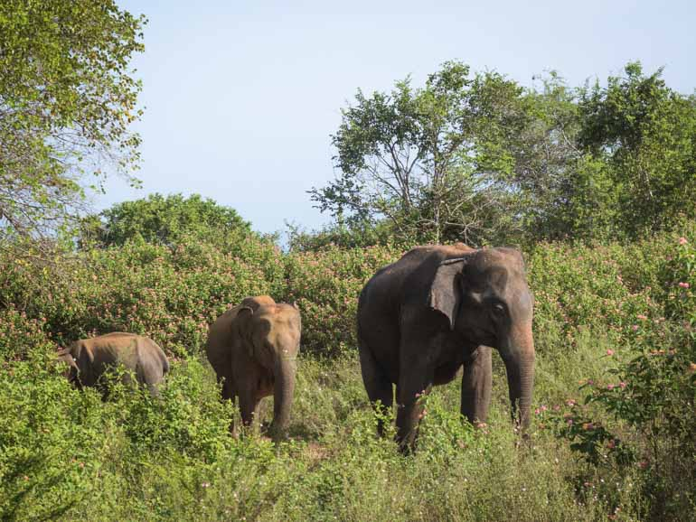 Viewing Elephants in Udawalawe National Park. On a family friendly safari in Sri Lanka.