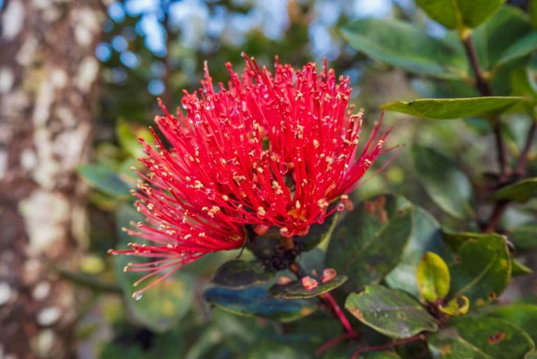 Red flower of Hawaii Big Island